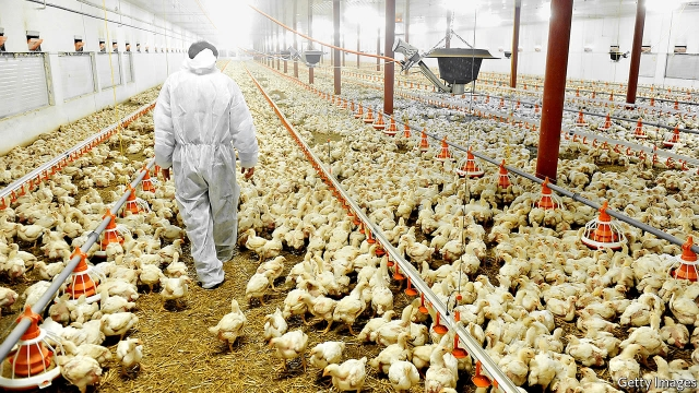 Chicken farmers use even more than those who raise cattle or pigs. Only a small percentage of the drugs are used to cure illnesses. Their main function is to make the broilers fatten up more quickly or to act as a prophylactic against the cramped conditions in which they are raised.